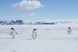 A Group of Adelie Penguins Walk Along the Sea Ice Off the Antarctic Peninsula