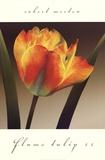 Flame Tulip II