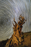 Star Trails around the North Celestial Pole Above a Bristlecone Pine Tree in California