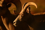 Close Up of a Bighorn Sheep  Ovis Canadensis  in Valley of Fire State Park