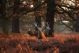 Three Red Deer  Cervus Elaphus  Standing in London's Richmond Park