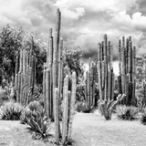 ¡Viva Mexico! Square Collection - Cardon Cactus B&W II