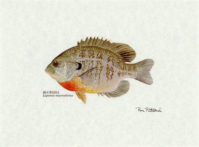 Bluegill Fish Art Print
