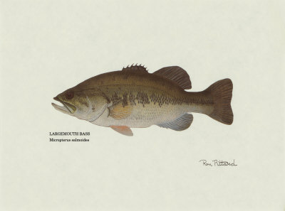 Largemouth Bass Fish Art Print