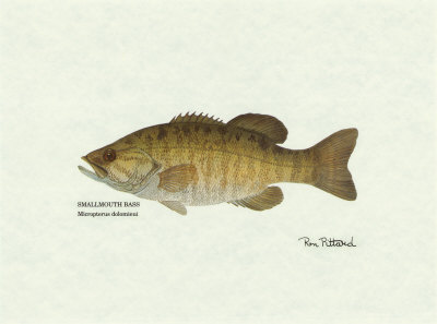 Smallmouth Bass Fish Art Print
