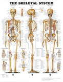 The Skeletal System Anatomical Chart Poster Print Gym - Motivational The Solar System USA Map World MegaMap 1:20 Wall Map, Educational Poster Watch Your Thoughts Motivational Poster Be Awesome World Map The Muscular System Anatomical Chart