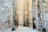 Winter Birch Woods in Morning Light Central Park in Winter