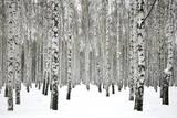 Winter Birch Forest Ski Trails in Snow A View of the Swiss Alps from Col Du Chardonnet, Mount Blanc Region Denali National Park Gilding Lauterbrunnen and Staubbach Falls, Jungfrau Region, Swiss Alps, Switzerland, Europe Aspen and Douglas Fir, Manti-Lasal National Forest, La Sal Mountains, Utah, USA Central Park in Winter