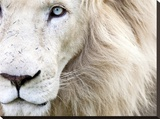 Full Frame Close Up Portrait of a Male White Lion with Blue Eyes  South Africa