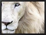 Full Frame Close Up Portrait of a Male White Lion with Blue Eyes.  South Africa. Tableau sur toile encadré par Karine Aigner