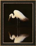 Great Egret in Lagoon  Pantanal  Brazil