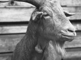 "Portrait of ""Red"", a Judas Goat Who Leads Sheep into the Slaughter House Papier Photo par William Vandivert"
