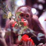 Orangutans in Captivity  Sandakan  Soabah  and Malasia  Town in Br North Borneo