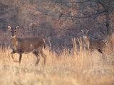 Deer on Gardiners Island