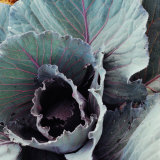 Close-Up of Pesticide-Free  Dew-Covered Cabbage Leaves with Worn Holes  Raised Organically