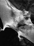 Rabid Male Vampire Bat