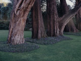 Gnarled Cypress Trees Surrounded by Dalmation Bell Flowers and Blue Grass Lawn California