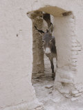 Russian Look of the Land Essay: Donkey Peering Out of Doorway at Merv
