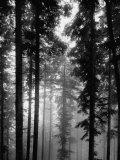 Trees in the Black Forest Reproduction d'art par Dmitri Kessel