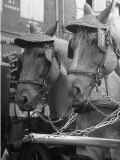 View of Beer Wagon Horses Wearing Straw Hats to Shade their Eyes from the Sun