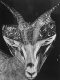 Robertsi Gazelle from Kenya Serengeti in Storage  American Museum of Natural History