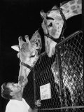 Giraffes Being Friendly with Circus Vet