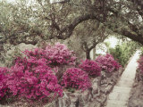 Pink Rhododendron Bushes at Chandor Gardens