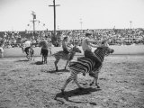 People Riding Zebras During the Ostrich Racing  Grange County Fair