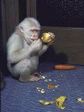 Albino Baby Gorilla Named Snowflake in Apartment of Barcelona Zoo's Veterinarian
