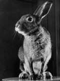 Horace the Irish Hare