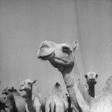 Camels Being Sold at Animal Market Papier Photo par Bob Landry