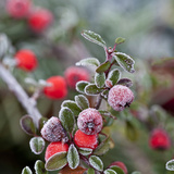Other Berries