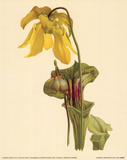 Trumpet Lilies