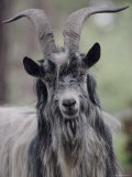 Goats (Nature Picture Library)