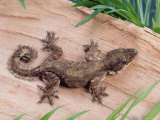 Lizards (Nature Picture Library)