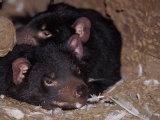 Tasmanian Devils (Photography)