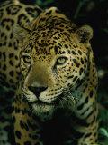 Jaguars