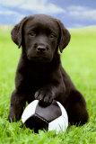 Labrador Retriever: Black, Chocolate & Yellow Labs