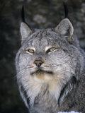 Lynxes & Bobcats
