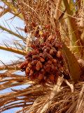 Dates (Fruit)