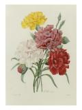 Carnations & Pinks