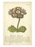 Auriculae