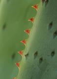 Aloe Plant