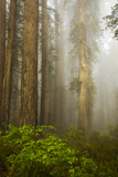 Redwood Forests