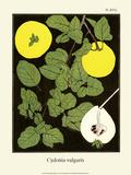 Quinces (Fruit)