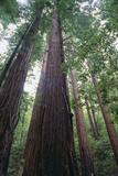 Redwood Forests