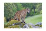 Mountain Lions & Pumas