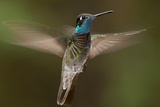 Hummingbirds (Nature Picture Library)