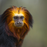 Monkeys (Nature Picture Library)