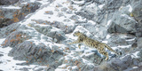Leopards (Nature Picture Library)